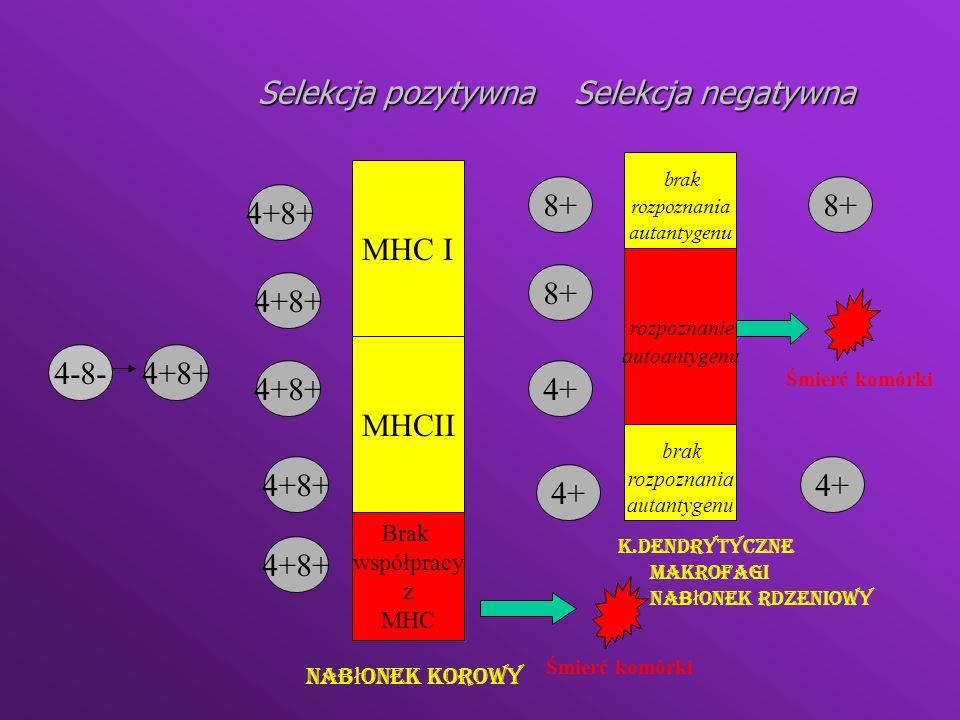 Anergia klonalna Inaktywacja autoreaktywnych limfocytów które uniknęły delecji klonalnejInaktywacja autoreaktywnych limfocytów które uniknęły delecji klonalnej do pobudzenia limfocytow konieczne jest przekazanie drugiego sygnału (za pomocą CD28 i CD80)do pobudzenia limfocytow konieczne jest przekazanie drugiego sygnału (za pomocą CD28 i CD80) dostarczenie tylko 1 sygnału prowadzi do stanu anergii limfocyta w którym może on produkować niektóre cytokiny ale nie może się dzielićdostarczenie tylko 1 sygnału prowadzi do stanu anergii limfocyta w którym może on produkować niektóre cytokiny ale nie może się dzielić
