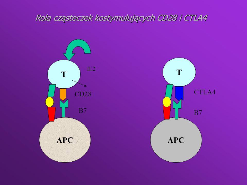 Mechanizmy zapewniające tolerancję ze strony limfocytów B B Y Y Y IgM Poliwalentne antygeny; peptydoglikany Delecja klonalna Anergia Zmostkowanie IgM Apoptoza Fagocytoza BB Y Y Y Dojrzałe limfocyty B B Y Y Y Duże stężenia rozpuszczalnych autoantygenów B Y ekspresji IgM Szpik kostny Obwód