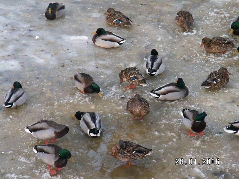 DOKARMIAJMY PTAKI, POMÓŻMY IM PRZETRWAĆ WYJĄTKOWO ŚNIEŻNĄ I MROŹNĄ ZIMĘ, BEZ NAS MOGĄ ZGINĄĆ!!!! Ptaki wodne, jak kaczki, łyski i łabędzie, zimujące w