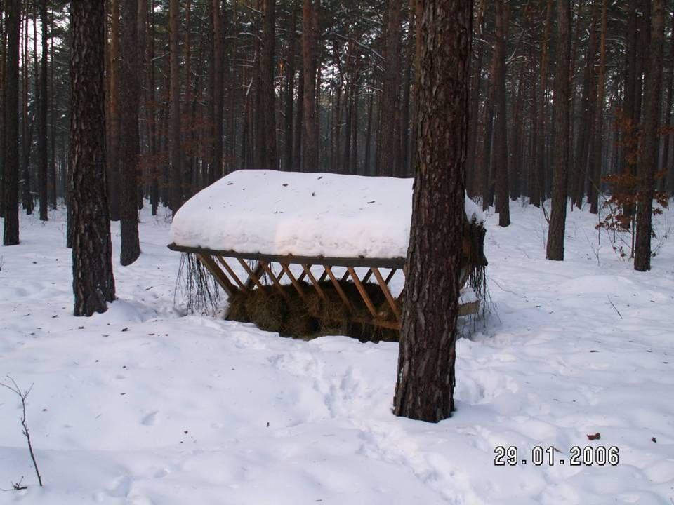 Zwierzęta leśne Zwierzęta leśne są dokarmiane przez leśniczych i członków kół łowieckich. Za pokarm służą jesienne owoce min.: kasztany, żołędzie, orz