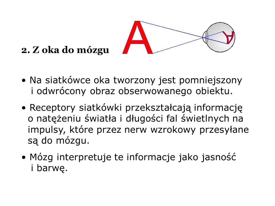 2. Z oka do mózgu Na siatkówce oka tworzony jest pomniejszony i odwrócony obraz obserwowanego obiektu. Receptory siatkówki przekształcają informację o