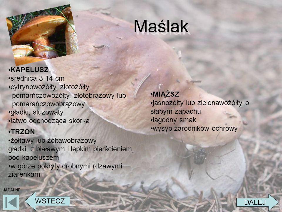 Maślak DALEJ WSTECZ JADALNE KAPELUSZ średnica 3-14 cm cytrynowożółty, złotożółty, pomarńczowożółty, złotobrązowy lub pomarańczowobrązowy gładki, śluzo