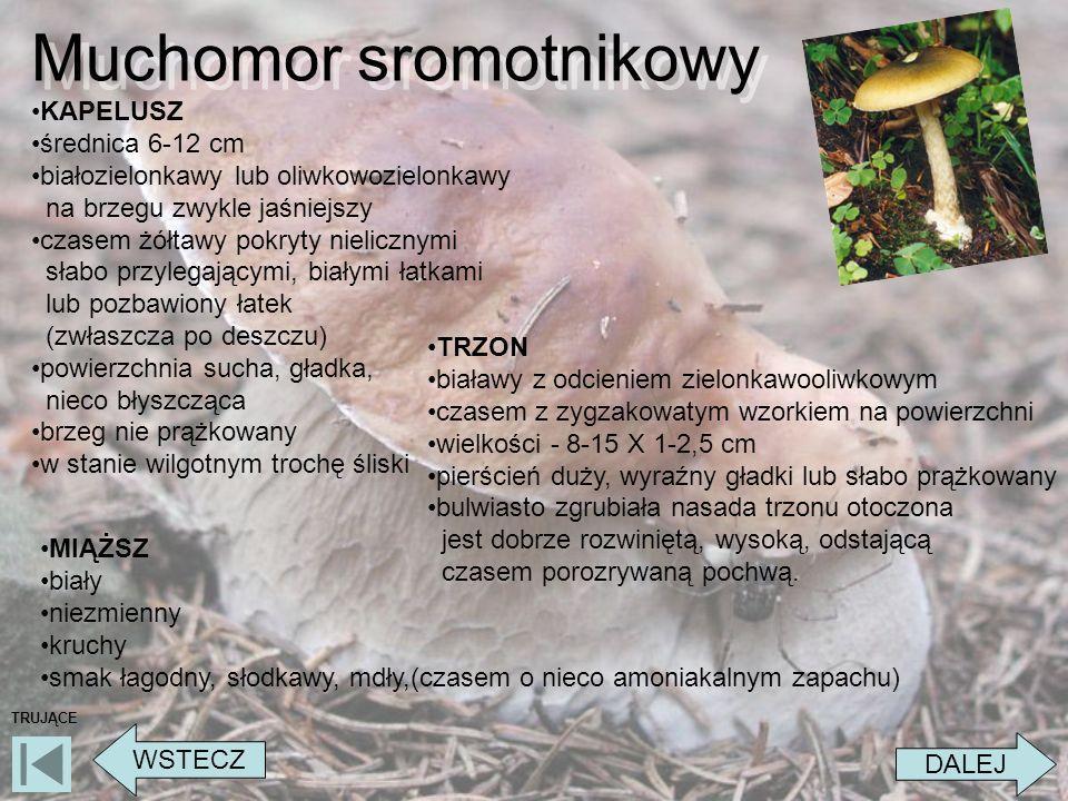Muchomor sromotnikowy DALEJ WSTECZ TRUJĄCE KAPELUSZ średnica 6-12 cm białozielonkawy lub oliwkowozielonkawy na brzegu zwykle jaśniejszy czasem żółtawy