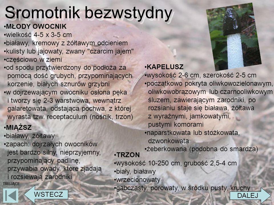 Sromotnik bezwstydny DALEJ WSTECZ TRUJĄCE MŁODY OWOCNIK wielkość 4-5 x 3-5 cm białawy, kremowy z żółtawym odcieniem kulisty lub jajowaty, zwany