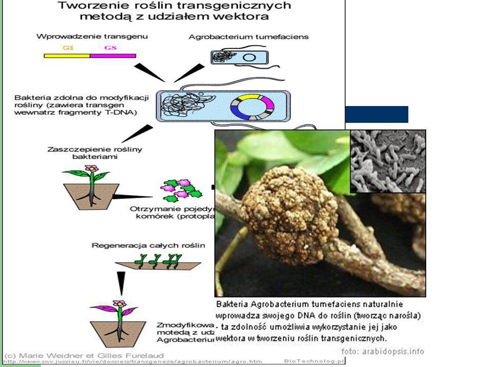 GMO- genetycznie zmodyfikowane organizmy - rośliny większe plony, odporność na czynniki pogodowe, odporność na działanie szkodników (np.grzyby chorobo