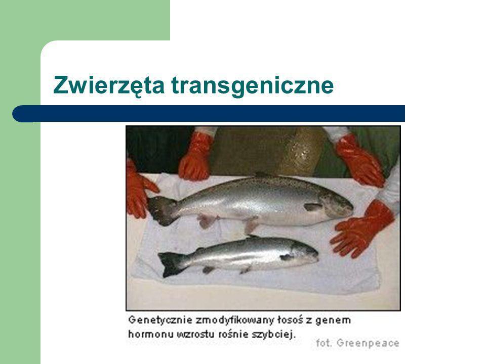 Zwierzęta transgeniczne Inne: - owce wytwarzające wełnę toksycznaą dla moli i nie kurczącą się w praniu, - lepsza jakość mięsa, mleka, - transgeniczne