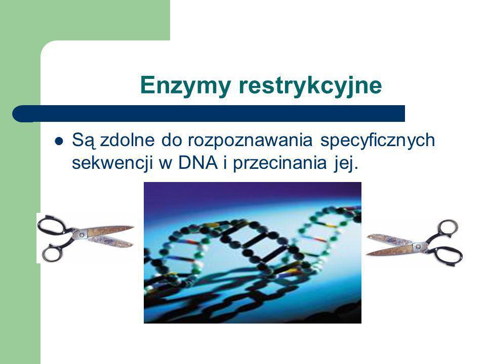 Enzymy restrykcyjne są podstawowym narzędziem inżynierii genetycznej Enzymy restrykcyjne (ang. restriction enzymes) są enzymami izolowanymi z bakterii