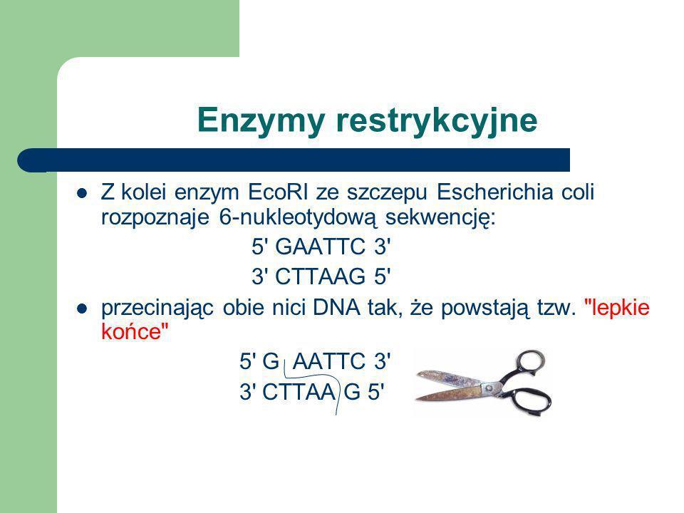 Enzymy restrykcyjne Większość enzymów restrykcyjnych typu II rozpoznaje palindromowe sekwencje 4 lub 6-nukleotydowe. Nacięcia w obu niciach mogą leżeć