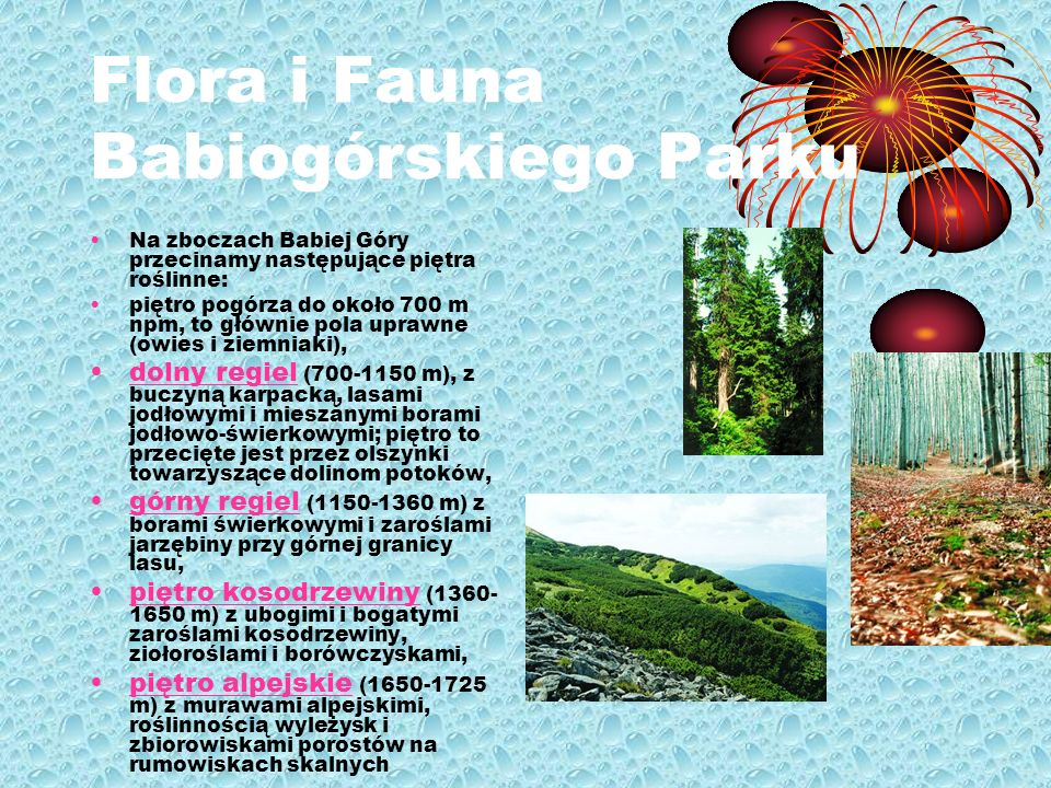 Flora i Fauna Babiogórskiego Parku Na zboczach Babiej Góry przecinamy następujące piętra roślinne: piętro pogórza do około 700 m npm, to głównie pola uprawne (owies i ziemniaki), dolny regiel (700-1150 m), z buczyną karpacką, lasami jodłowymi i mieszanymi borami jodłowo-świerkowymi; piętro to przecięte jest przez olszynki towarzyszące dolinom potoków,dolny regiel górny regiel (1150-1360 m) z borami świerkowymi i zaroślami jarzębiny przy górnej granicy lasu,górny regiel piętro kosodrzewiny (1360- 1650 m) z ubogimi i bogatymi zaroślami kosodrzewiny, ziołoroślami i borówczyskami,piętro kosodrzewiny piętro alpejskie (1650-1725 m) z murawami alpejskimi, roślinnością wyleżysk i zbiorowiskami porostów na rumowiskach skalnychpiętro alpejskie
