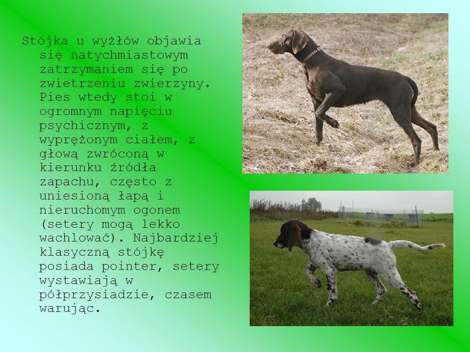 Można wyróżnić kilka rodzajów stójki: twarda (prawidłowa) – pies trzyma stójkę do chwili nadejścia myśliwego, na jego rozkaz dociąga i wypycha zwierzynę na strzał; krótka – pies zrywa stójkę samodzielnie przed nadejściem myśliwego; martwa – pies na rozkaz nie rusza, pozostawiony działa samodzielnie; pusta – pies wystawia miejsca, gdzie przed chwilą była zwierzyna.