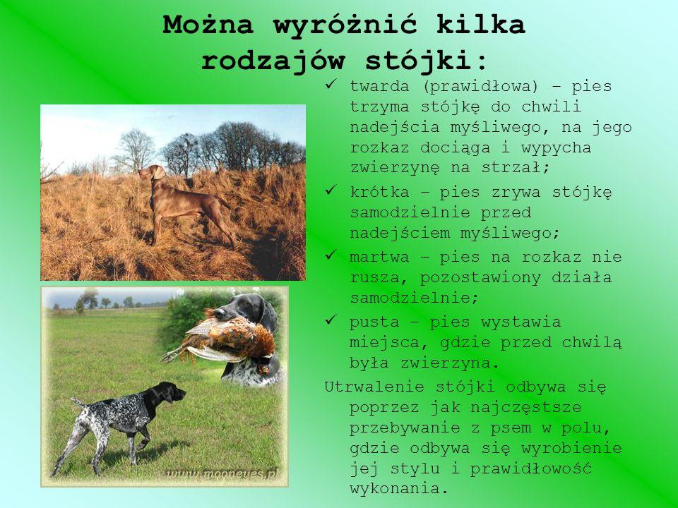 Można wyróżnić kilka rodzajów stójki: twarda (prawidłowa) – pies trzyma stójkę do chwili nadejścia myśliwego, na jego rozkaz dociąga i wypycha zwierzy