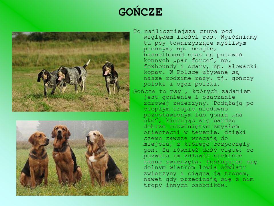 GOŃCZE To najliczniejsza grupa pod względem ilości ras. Wyróżniamy tu psy towarzyszące myśliwym pieszym, np. beagle, bassethound oraz do polowań konny