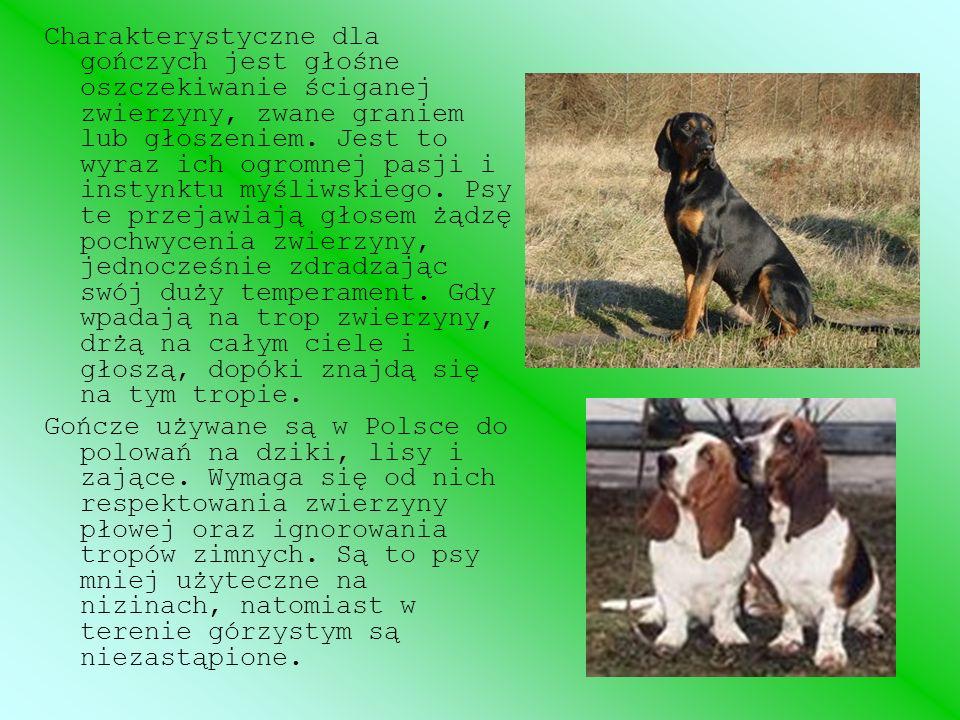 Szkolenie opiera się na wykorzystaniu cech psów gończych, których zadaniem jest tylko głośne gonienie określonych gatunków zwierząt, bez aportu i warowania na rozkaz.