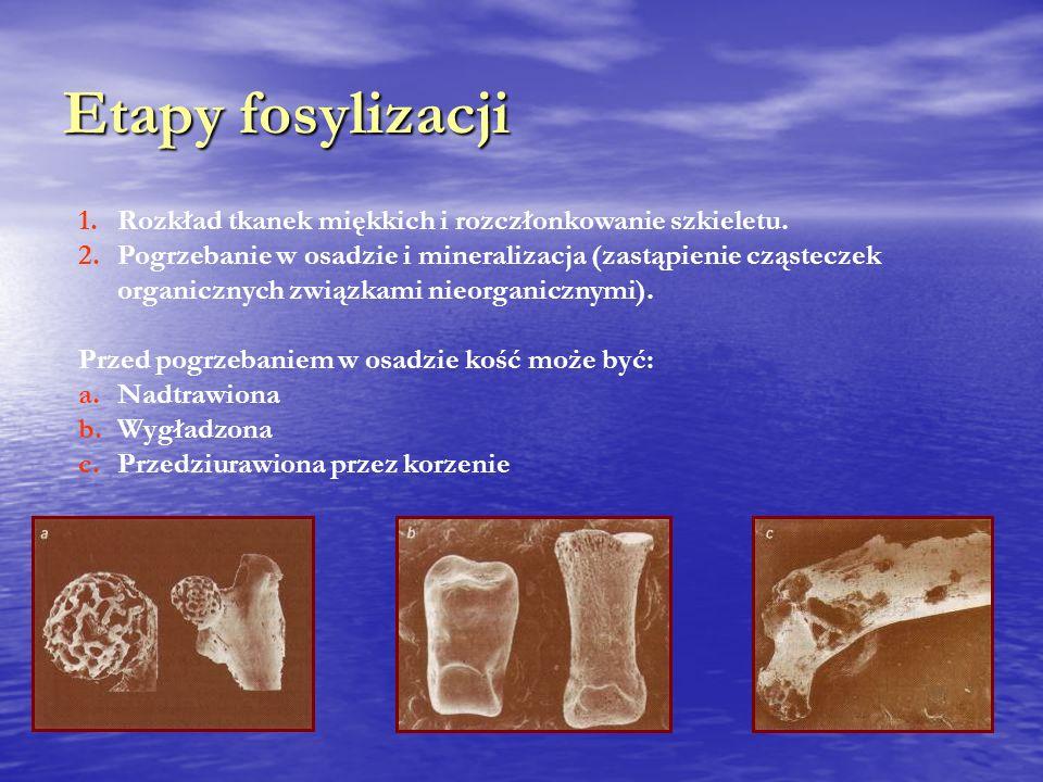 Etapy fosylizacji 1.Rozkład tkanek miękkich i rozczłonkowanie szkieletu.