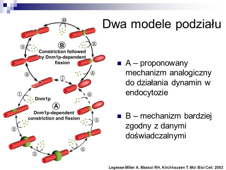 A – proponowany mechanizm analogiczny do działania dynamin w endocytozie B – mechanizm bardziej zgodny z danymi doświadczalnymi Legesse-Miller A, Mass