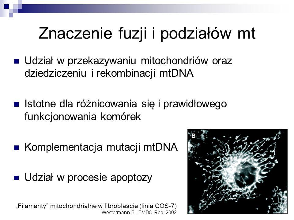 Znaczenie fuzji i podziałów mt Udział w przekazywaniu mitochondriów oraz dziedziczeniu i rekombinacji mtDNA Istotne dla różnicowania się i prawidłoweg