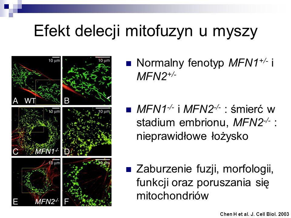 Efekt delecji mitofuzyn u myszy Normalny fenotyp MFN1 +/- i MFN2 +/- MFN1 -/- i MFN2 -/- : śmierć w stadium embrionu, MFN2 -/- : nieprawidłowe łożysko