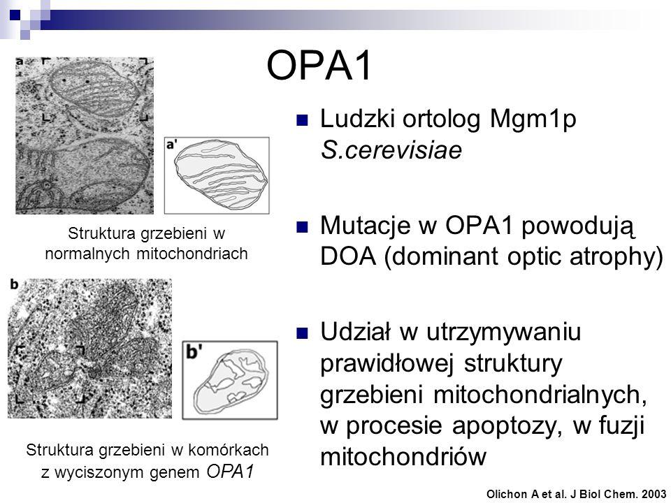 OPA1 Ludzki ortolog Mgm1p S.cerevisiae Mutacje w OPA1 powodują DOA (dominant optic atrophy) Udział w utrzymywaniu prawidłowej struktury grzebieni mito