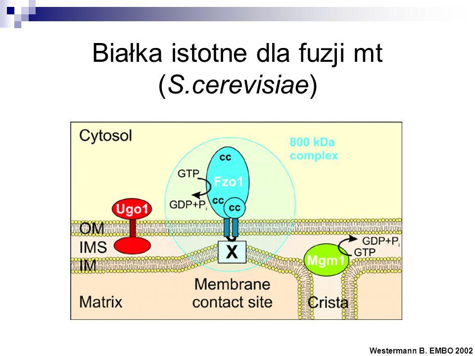 Białka istotne dla fuzji mt (S.cerevisiae) Westermann B. EMBO 2002