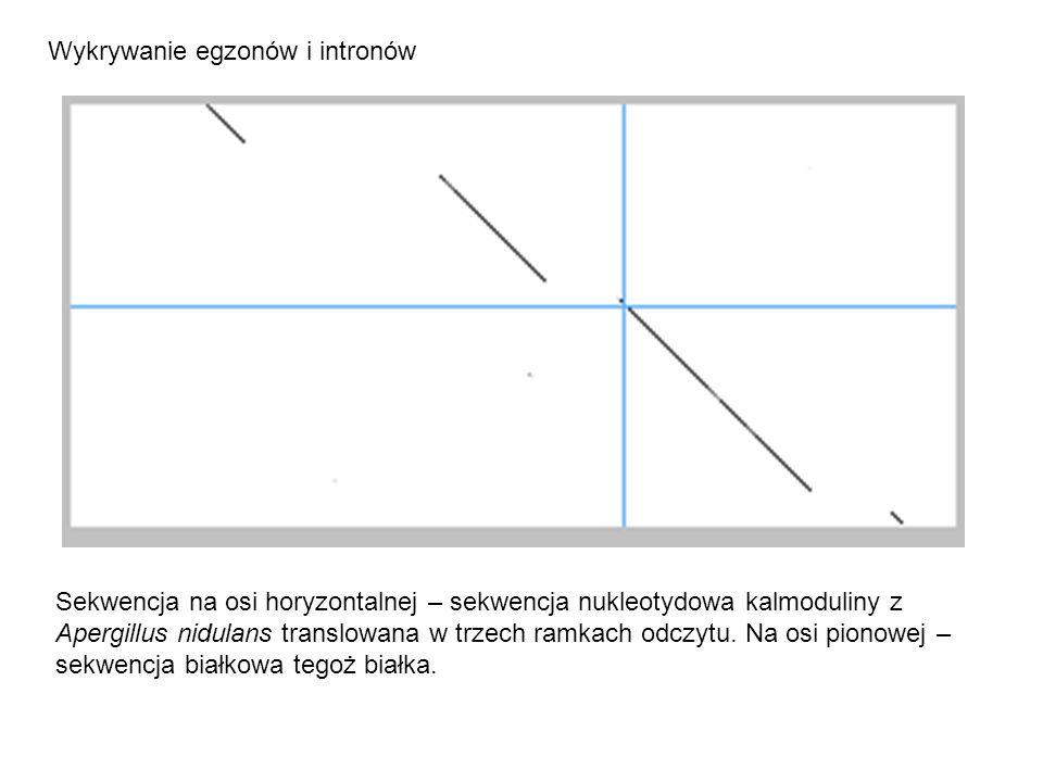 Wykrywanie egzonów i intronów Sekwencja na osi horyzontalnej – sekwencja nukleotydowa kalmoduliny z Apergillus nidulans translowana w trzech ramkach odczytu.