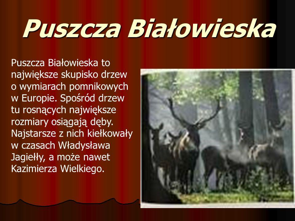 Puszcza Białowieska Puszcza Białowieska to największe skupisko drzew o wymiarach pomnikowych w Europie. Spośród drzew tu rosnących największe rozmiary