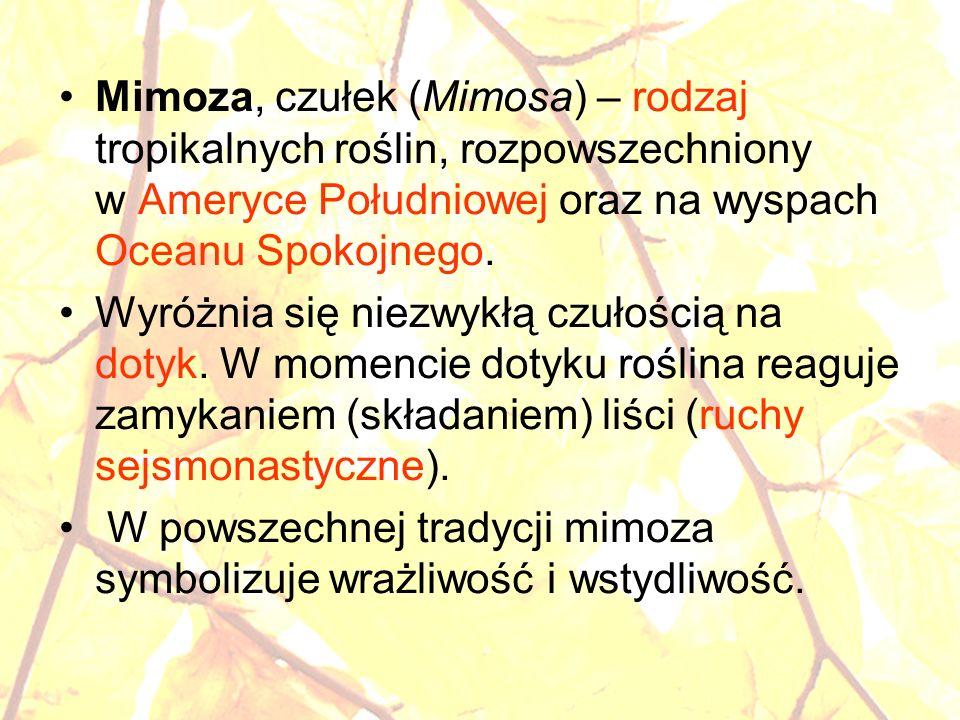 Mimoza, czułek (Mimosa) – rodzaj tropikalnych roślin, rozpowszechniony w Ameryce Południowej oraz na wyspach Oceanu Spokojnego. Wyróżnia się niezwykłą