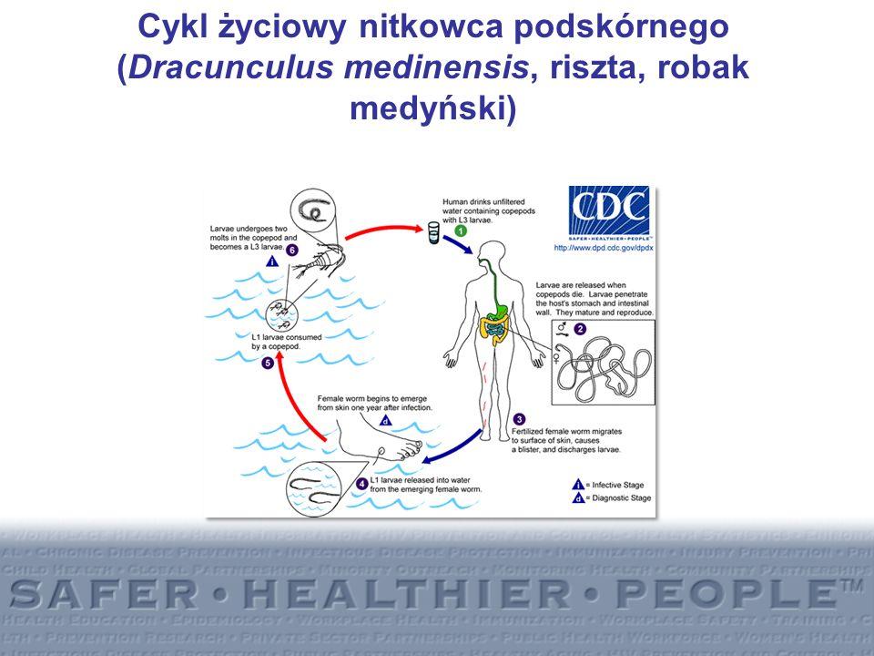 Cykl życiowy nitkowca podskórnego (Dracunculus medinensis, riszta, robak medyński)
