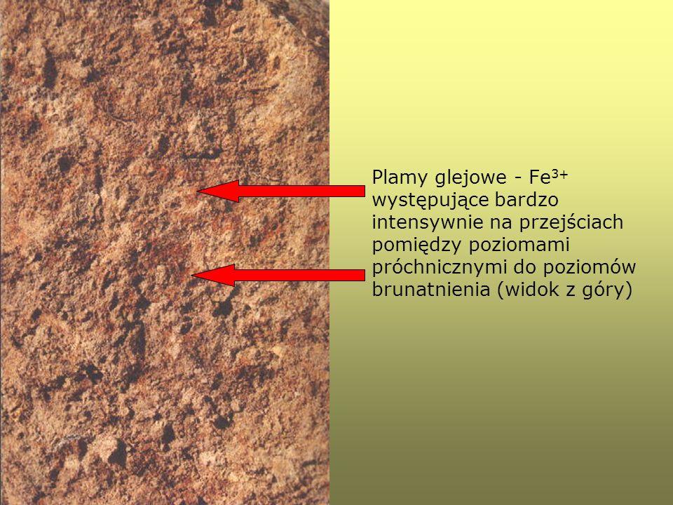 Plamy glejowe - Fe 3+ występujące bardzo intensywnie na przejściach pomiędzy poziomami próchnicznymi do poziomów brunatnienia (widok z góry)
