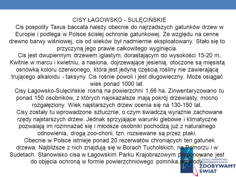 CISY ŁAGOWSKO - SULĘCIŃSKIE Cis pospolity Taxus baccata należy obecnie do najrzadszych gatunków drzew w Europie i podlega w Polsce ścisłej ochronie gatunkowej.