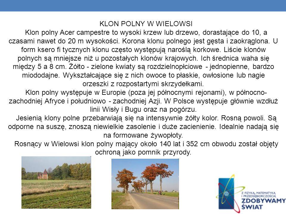 KLON POLNY W WIELOWSI Klon polny Acer campestre to wysoki krzew lub drzewo, dorastające do 10, a czasami nawet do 20 m wysokości.