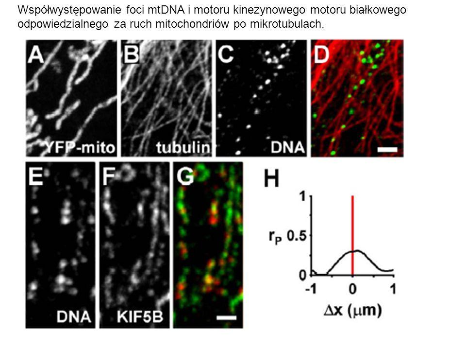 Współwystępowanie foci mtDNA i motoru kinezynowego motoru białkowego odpowiedzialnego za ruch mitochondriów po mikrotubulach.
