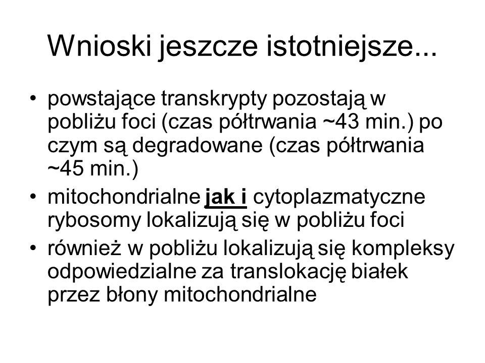Wnioski jeszcze istotniejsze... powstające transkrypty pozostają w pobliżu foci (czas półtrwania ~43 min.) po czym są degradowane (czas półtrwania ~45