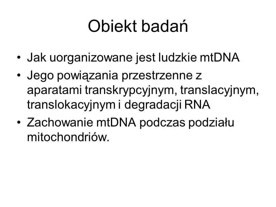 Obiekt badań Jak uorganizowane jest ludzkie mtDNA Jego powiązania przestrzenne z aparatami transkrypcyjnym, translacyjnym, translokacyjnym i degradacj