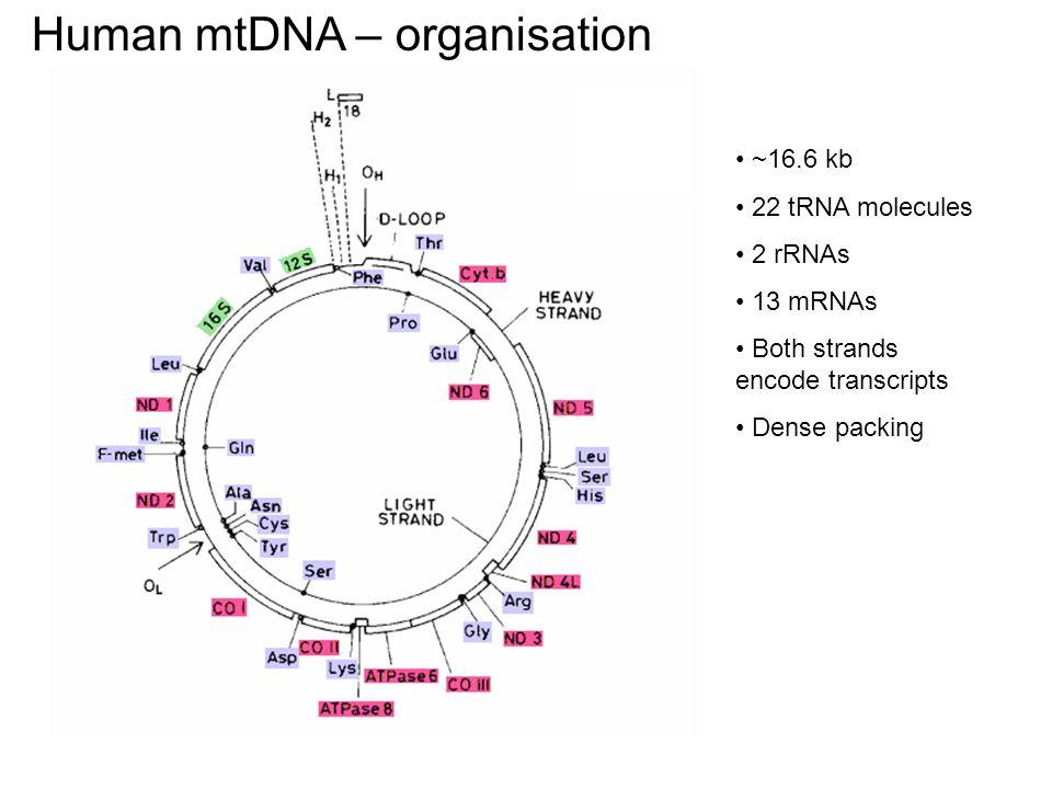 Wnioski mtDNA uorganizowane jest w foci po 6-10 cząsteczek foci występują w pobliżu miejsc podczepienia mt do szkieletu MT podziały mt odbywają się w pobliżu foci, ale nigdy nie dzielą foci foci występują w miejscach, gdzie lokalnie zmniejszona jest ilość kompleksów oddechowych, co może chronić mtDNA przed wolnymi rodnikami