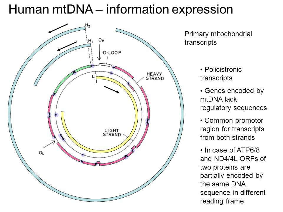 Primary mitochondrial transcripts Policistronic transcripts Genes encoded by mtDNA lack regulatory sequences Common promotor region for transcripts fr