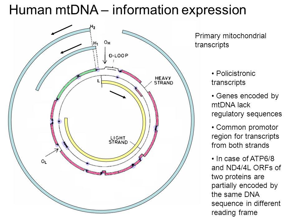 mtDNA uorganizowane jest w foci po ~8 cząsteczek. Foci związane są z błoną mitochondrialną.