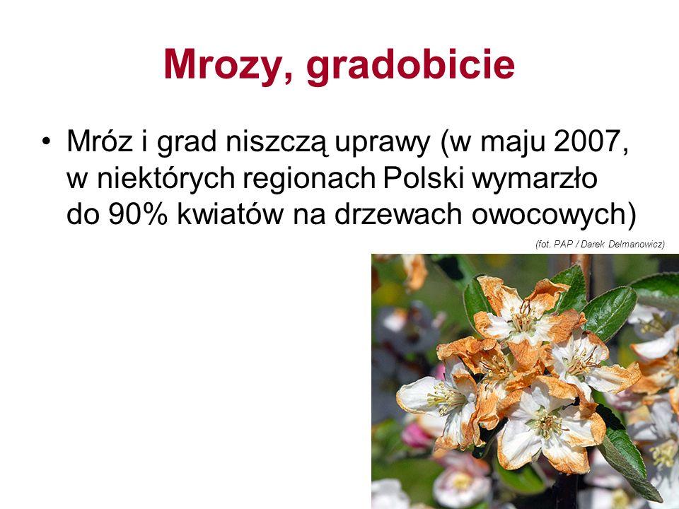 Mrozy, gradobicie Mróz i grad niszczą uprawy (w maju 2007, w niektórych regionach Polski wymarzło do 90% kwiatów na drzewach owocowych) (fot.