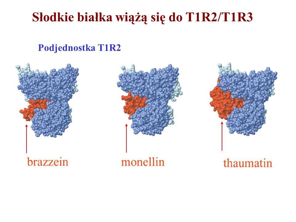 Słodkie białka wiążą się do T1R2/T1R3 +słodkie białko Podjednostka T1R2