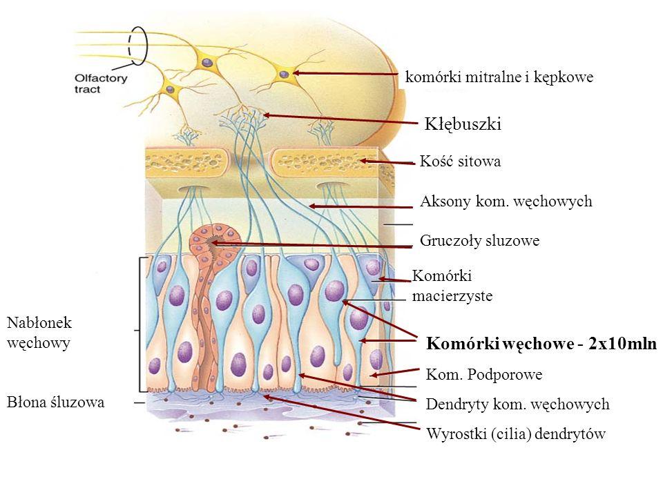Nabłonek węchowy Błona śluzowa Komórki macierzyste Komórki węchowe - 2x10mln Kom. Podporowe Dendryty kom. węchowych Wyrostki (cilia) dendrytów komórki