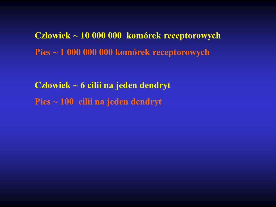 Człowiek ~ 10 000 000 komórek receptorowych Pies ~ 1 000 000 000 komórek receptorowych Człowiek ~ 6 cilii na jeden dendryt Pies ~ 100 cilii na jeden d