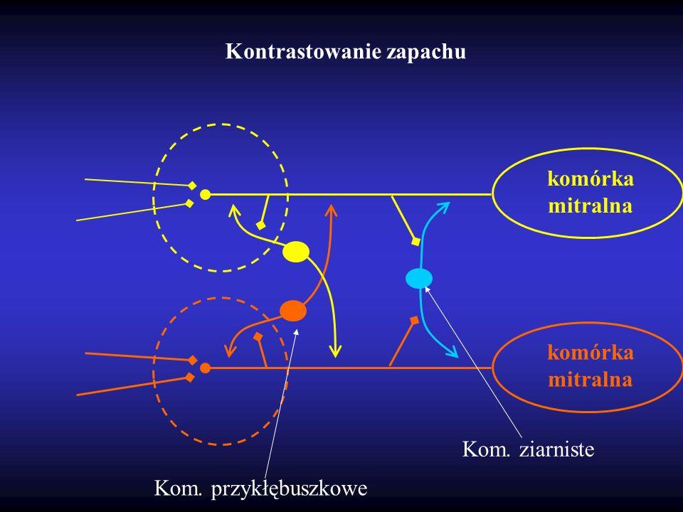 Kontrastowanie zapachu komórka mitralna Kom. przykłębuszkowe Kom. ziarniste