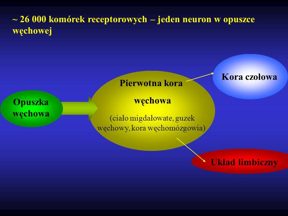 ~ 26 000 komórek receptorowych – jeden neuron w opuszce węchowej Pierwotna kora węchowa (ciało migdałowate, guzek węchowy, kora węchomózgowia) Układ l