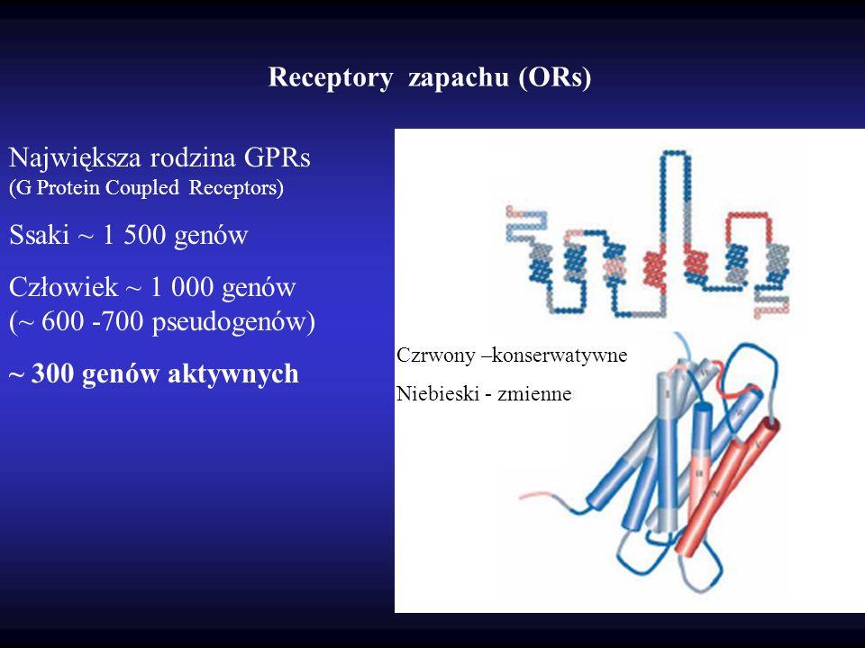 Receptory zapachu (ORs) Czrwony –konserwatywne Niebieski - zmienne Największa rodzina GPRs (G Protein Coupled Receptors) Ssaki ~ 1 500 genów Człowiek