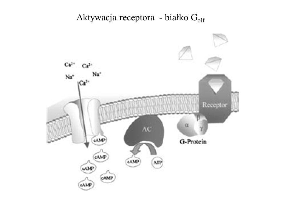 Aktywacja receptora - białko G olf