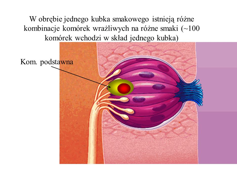 W obrębie jednego kubka smakowego istnieją różne kombinacje komórek wrażliwych na różne smaki (~100 komórek wchodzi w skład jednego kubka) Kom. podsta