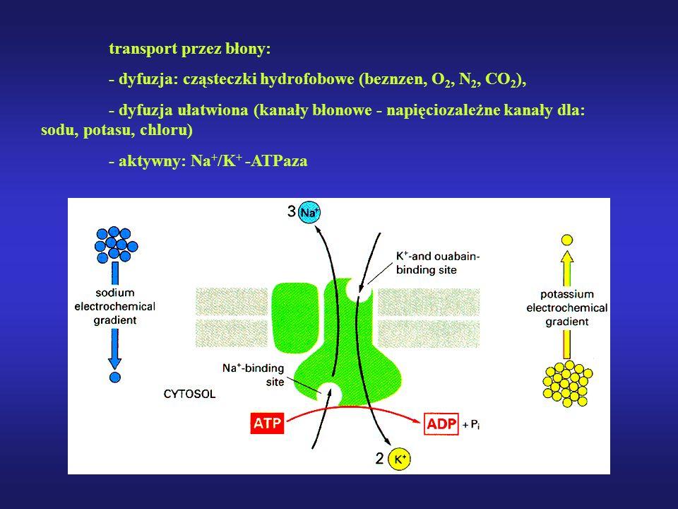 transport przez błony: - dyfuzja: cząsteczki hydrofobowe (beznzen, O 2, N 2, CO 2 ), - dyfuzja ułatwiona (kanały błonowe - napięciozależne kanały dla: