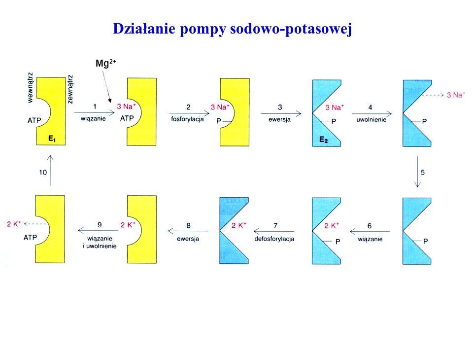Działanie pompy sodowo-potasowej Mg 2+