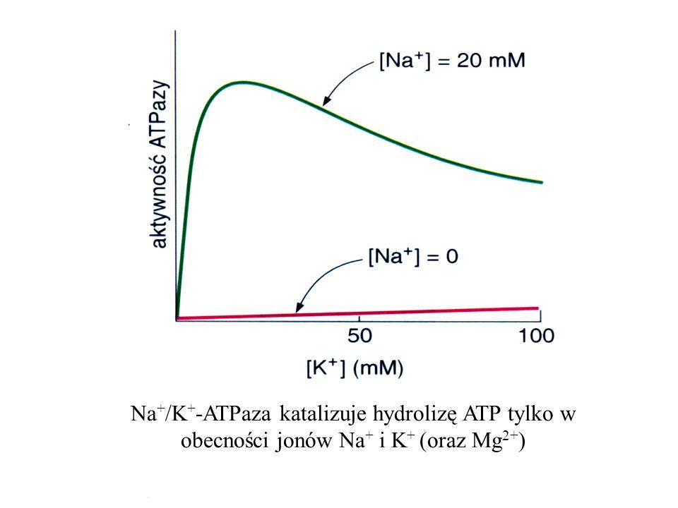Na + /K + -ATPaza katalizuje hydrolizę ATP tylko w obecności jonów Na + i K + (oraz Mg 2+ )
