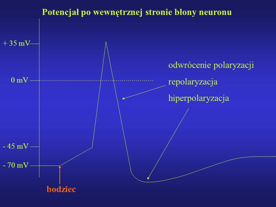 - 70 mV + 35 mV - 45 mV Potencjał po wewnętrznej stronie błony neuronu bodziec odwrócenie polaryzacji repolaryzacja hiperpolaryzacja 0 mV