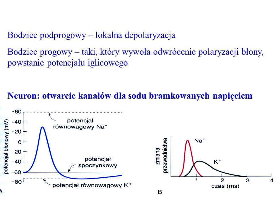 Bodziec podprogowy – lokalna depolaryzacja Bodziec progowy – taki, który wywoła odwrócenie polaryzacji błony, powstanie potencjału iglicowego Neuron: